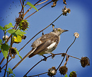 Mocking Framed Prints - Northern Mocking Bird Framed Print by Tessa Fairey