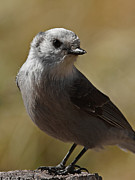 Mockingbird Photo Posters - Northern Mockingbird Poster by Ernie Echols