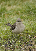Backyards Posters - Northern Mockingbird Poster by Heather Applegate