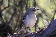 Peri Ann Michels - Northern Mockingbird