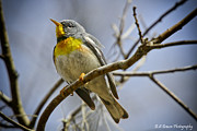 Warbler Originals - Northern Parula by Barbara Bowen