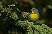 Warblers Posters - Northern Parula Poster by Mircea Costina Photography