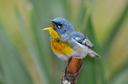 Warbler Originals - Northern Parula Wabler Singing for Spring by Alan Lenk