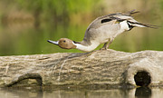 Anas Platyrhynchos Framed Prints - Northern Pintail  Framed Print by Mircea Costina Photography