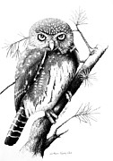 Owls Drawings - Northern Pygmy Owl by Sandra Schultz
