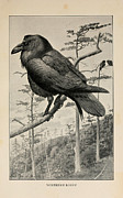 Edgar Drawings Posters - Northern Raven Poster by Louis Agassiz Fuertes