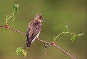Wing Pyrography Posters - Northern Rough Winged Swallow Poster by Daniel Behm