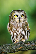 Northern Colorado Prints - Northern Saw-whet Owl Aegolius Acadicus Wildlife Rescue Print by Dave Welling