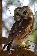 Owl Metal Prints - Northern Saw-whet Owl II Metal Print by Bruce J Robinson