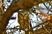 Paul OToole - Northern saw whet owl...