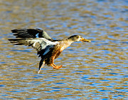 Stephen  Johnson - Northern Shoveler Hen...