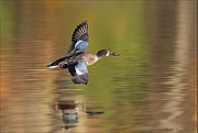 Reflection In Water Pyrography Prints - Northern Shoveler in Fligt Print by Daniel Behm