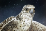 Gyrfalcon  Art - Northern Star by Arie Van der Wijst