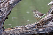 Daniel Forget - Northern Waterthrush