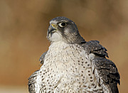 Gyrfalcon  Metal Prints - Northern Wind Arctic Wildlife Gyrfalcon Metal Print by Inspired Nature Photography By Shelley Myke