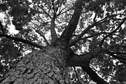 Wildcats Photos - Northwestern University The Oak Grove by University Icons