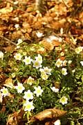 Norwegian Springflowers Anemone Nemorosa Print by Hilde Mariann Hansen