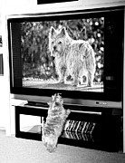 Dog Photo Framed Prints - Norwich Terrier Bigger Than Life Framed Print by Susan Stone