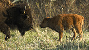 Buffalo Photos - Nose To Nose by Bob Christopher