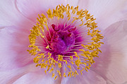 Nick  Boren - Nosegay Peony Macro