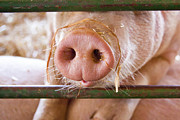 Pig Framed Prints - Nosey Framed Print by Caitlyn  Grasso