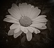 Neurotic Images Photography Posters - Nostalgic Daisy Processed Poster by Chalet Roome-Rigdon