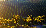 Wine Vineyard Photo Originals - Not enough wine by Stephen Dilley