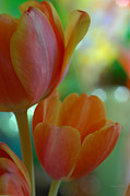 Tulips Posters - Nothing As Sweet As Your Tulips Poster by Donna Blackhall