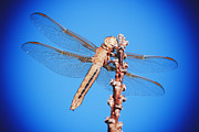 Macro Dragonfly Picture Posters - Nothing but Blue Skies Poster by Tawnya Apuan