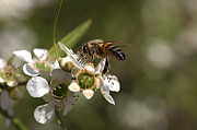 Australian Bee Photos - Nourishment by Joy Watson