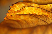 Curvy Beauty Posters - November Edge of Backlit Hydrangea Leaf Poster by Anna Lisa Yoder