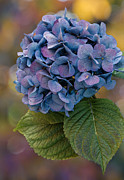 Purple Hydrangea Photos - November Hydrangea by Angie Vogel