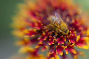Depth Of Field Photos - Now Rare Honey Bee 3 by Scott Campbell