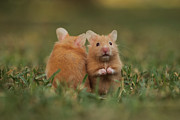 Syrian Hamster Photos - Nursery by Alon Meir