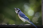 Blue Jay Picture Framed Prints - Nut Cracker Framed Print by Cris Hayes