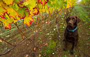 Brown Dogs Photos - Nute watches the vines by Jean Noren