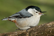 Song Birds Metal Prints - Nuthatch Metal Print by Bill  Wakeley