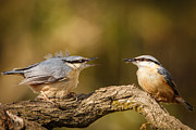 Izzy Art - Nuthatch feeding his missus by Izzy Standbridge