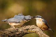 Izzy Art - Nuthatch gives gift of flies to his missus by Izzy Standbridge