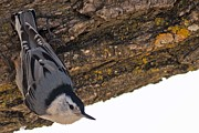 Natural Focal Point Photography - Nuthatch in Spring 2