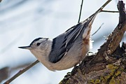 Natural Focal Point Photography - Nuthatch in Spring