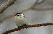 Ellen Ryan - Nuthatch in the Snow 2