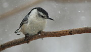 Ellen Ryan - Nuthatch in the Snow