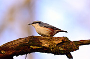 Bokhe Photos - Nuthatch Sitta europaea bird by Tommy Hammarsten