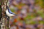 Bokhe Photos - Nuthatch Sitta europaea by Tommy Hammarsten