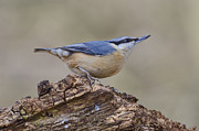Steev Stamford Framed Prints - Nuthatch Framed Print by Steev Stamford