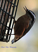 Ed Nicholles - Nuthatch Tongue