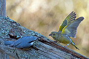 Pinion Art - Nuthatch vs Greenfinch by Torbjorn Swenelius