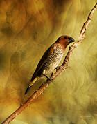 Nutmeg Mannikin Aka Spice Finch Print by Angela A Stanton