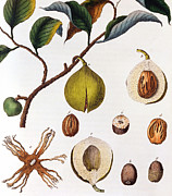Fruit Drawings Metal Prints - Nutmeg Myrsitica Fragrans Metal Print by Anonymous